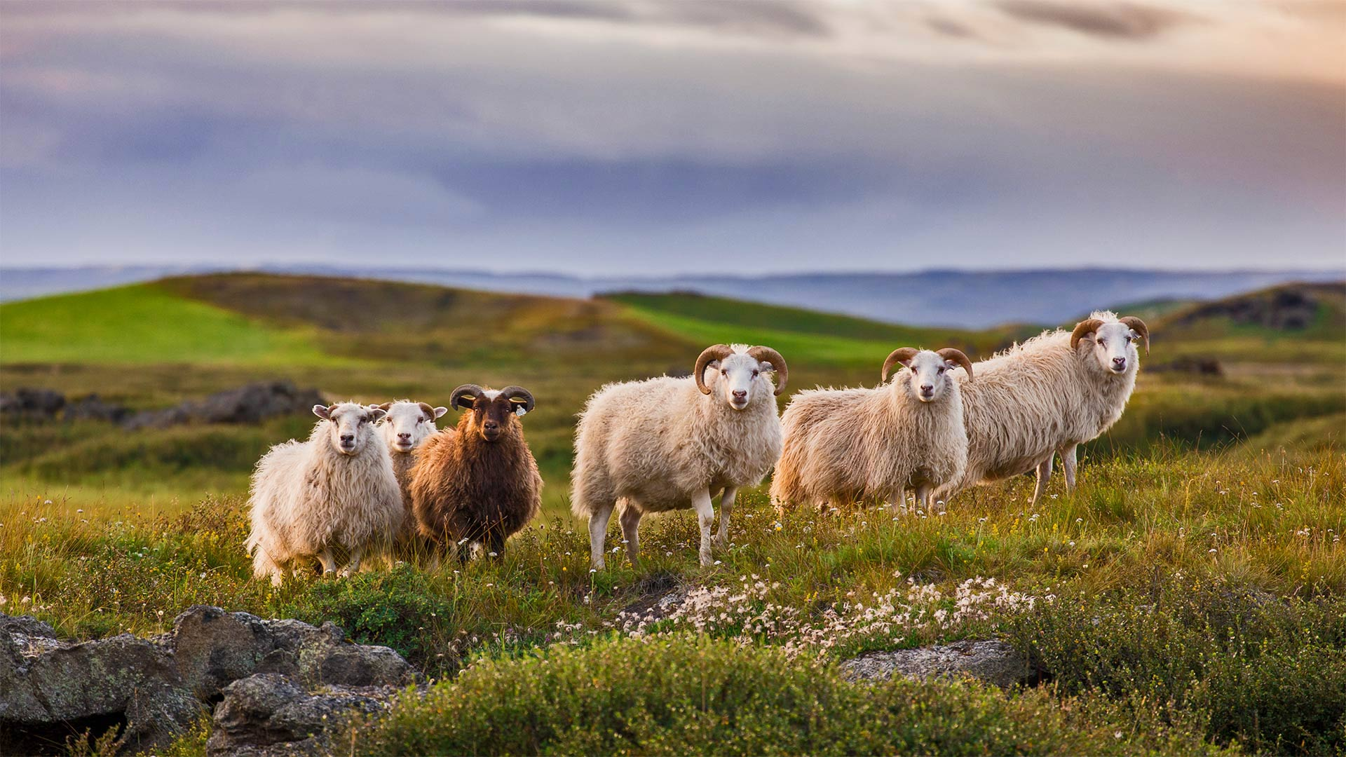 Icelandic sheep ready for réttir (© Pieter Tytgat/Getty Images) - Calf Blog