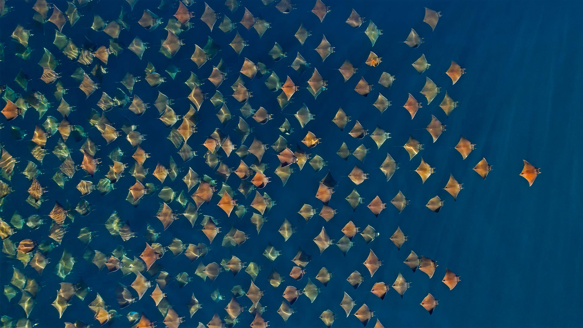 Large school of Munk's devil rays seen from the air, Gulf of California, Mexico (© Mark Carwardine/Minden Pictures) - Calf Blog