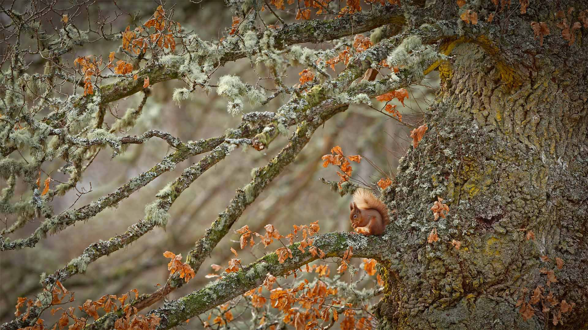 Red squirrel in the Highlands of Scotland (© Scotland: The Big Picture/Minden Pictures) - Calf Blog